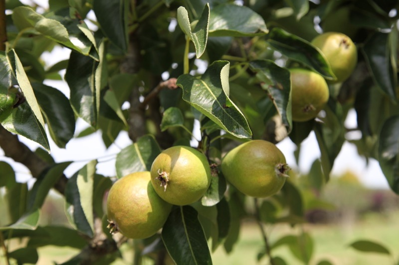 arbor tech growing pears image